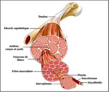 Image issu du site: http://svtmarcq.e-monsite.com/pages/cellule-musculaire-2.html